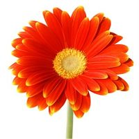 Orange-Daisy-726565